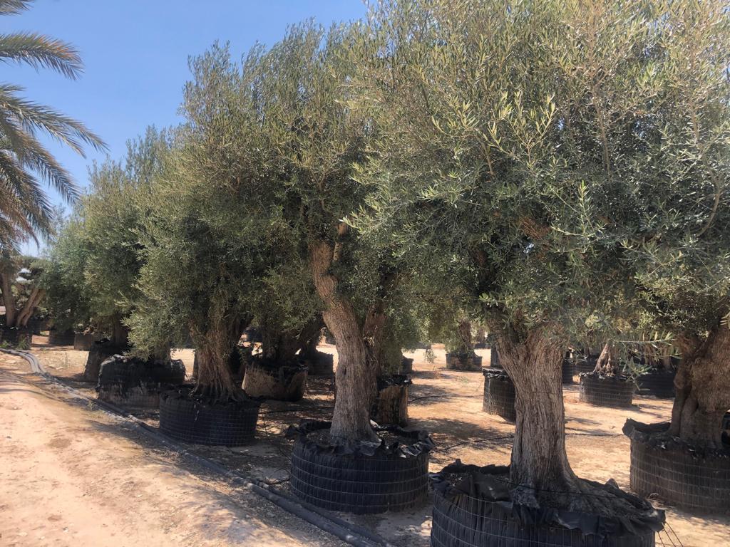 Olivos autóctonos en fila